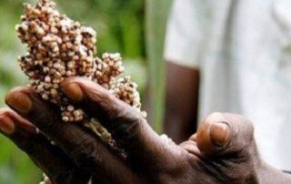 Hand , die Getreide hält